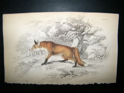 Jardine 1838 Antique Hand Col Print. Fox | Albion Prints